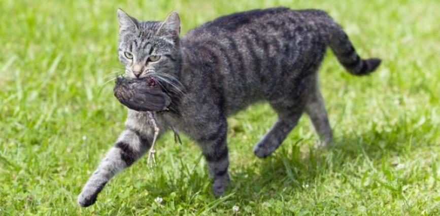 chat avec un oiseau dans la gueule