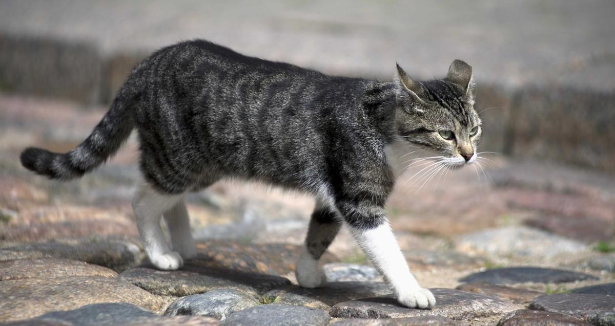 chat qui marche dans la rue