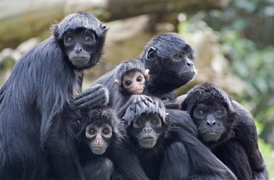 famille d'atèles