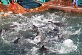 pêche aux dauphins