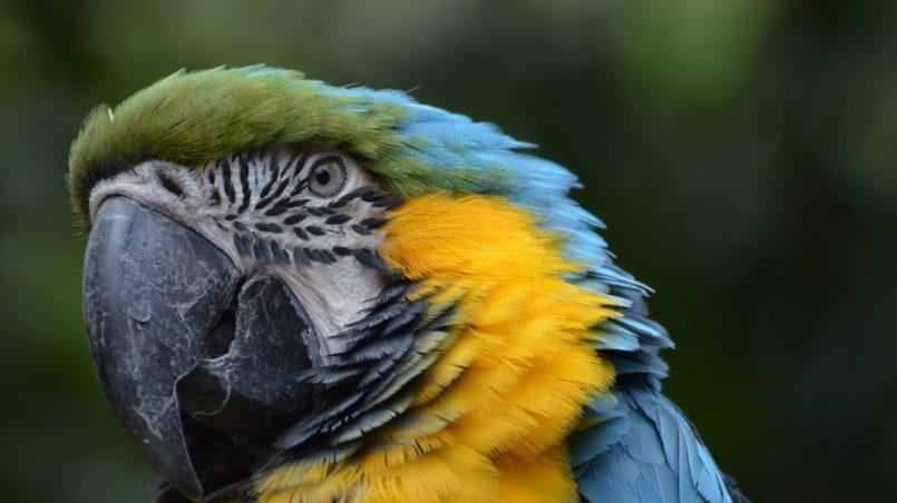 tête de perroquet